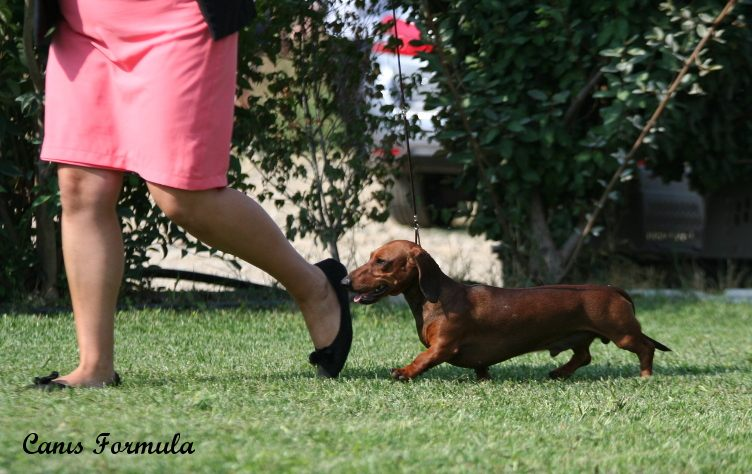 Dachshund miniature in moviment