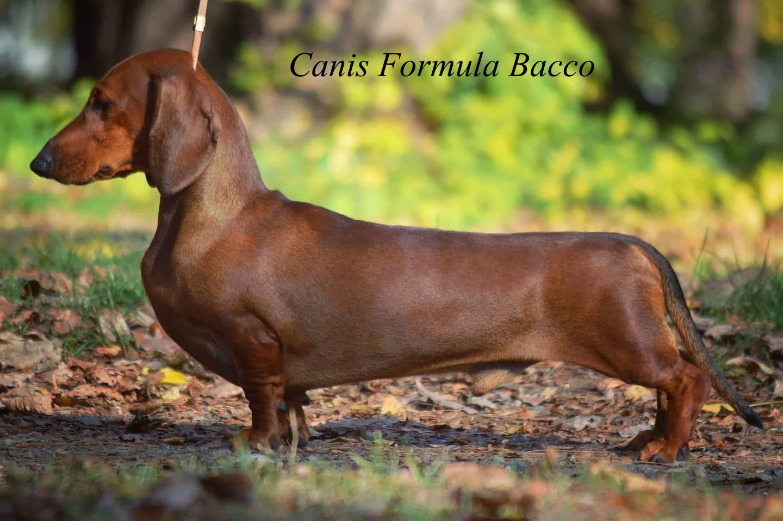 Canis Formula Bacco