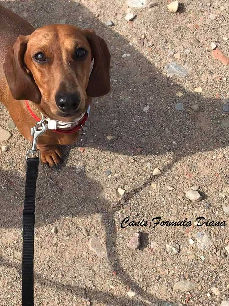 Canis Formula Diana bassotto arlecchino fulvo