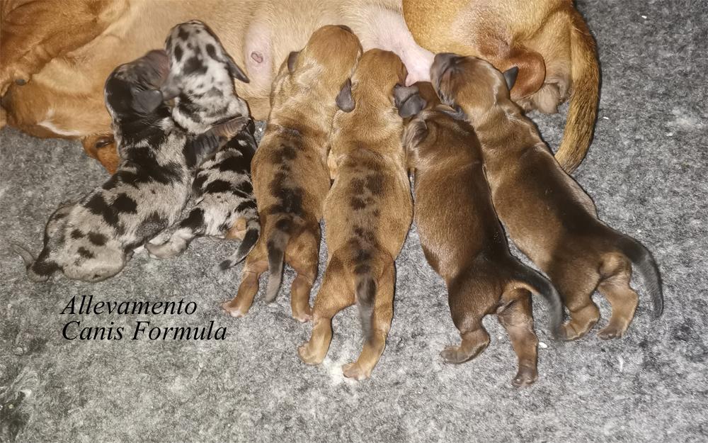 Cuccioli Bassotti nano arlecchino