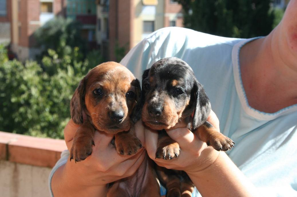 Brother dachshound