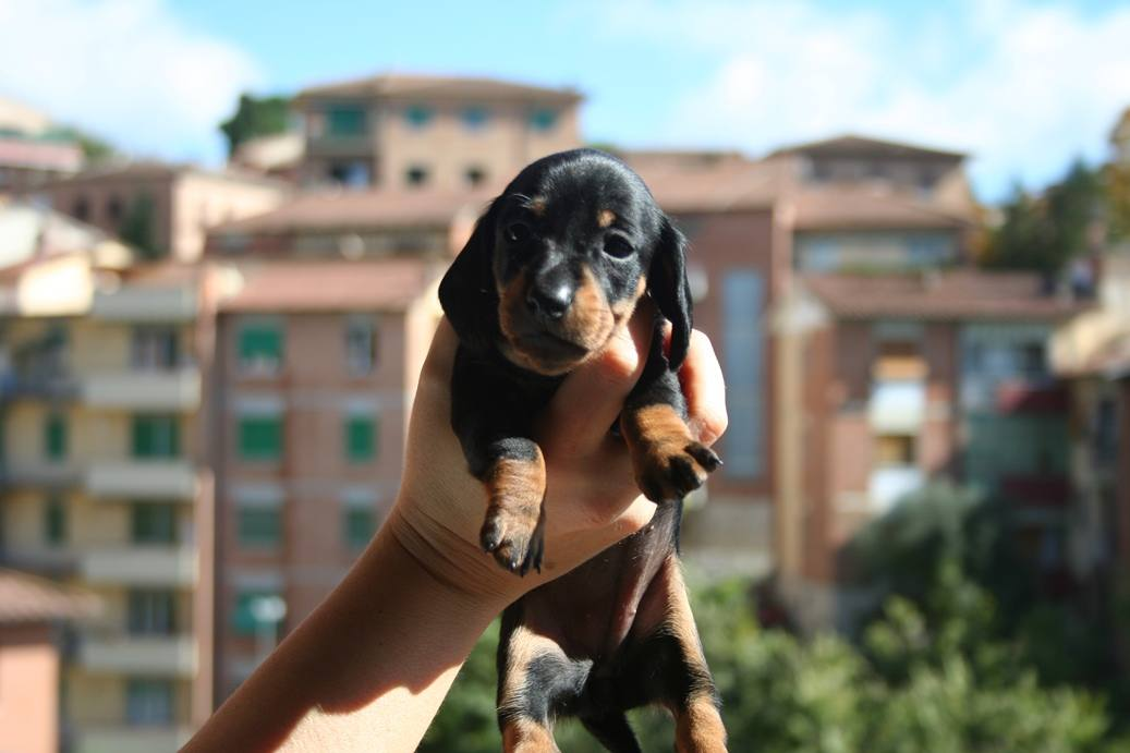 Black and tan dachshound