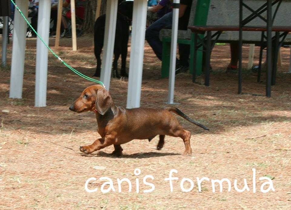 Canis Formula Ares bassotto standard 3 mesi