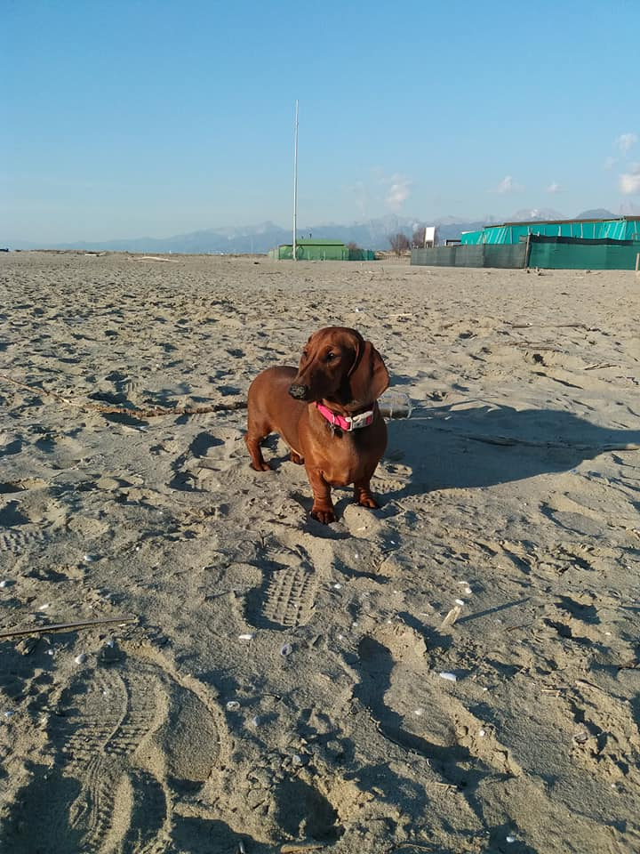 Canis Formula Bat Ruby - Bassotto in spiaggia