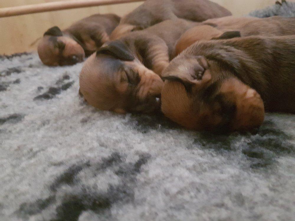 Le prime immagini dei cuccioli di bassotto a pelo corto