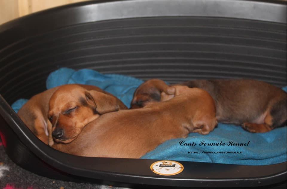 Cuccioli bassotto a riposo