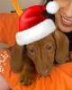 Bassotti per le feste di Natale