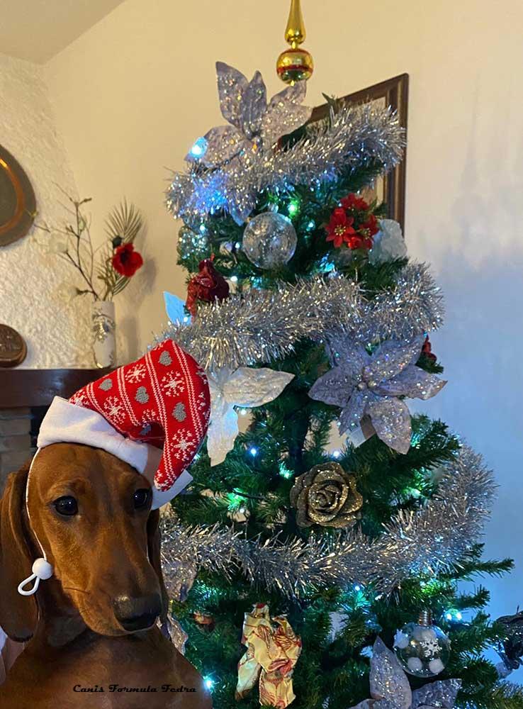 Canis Formula Fedra con cappello di Babbo Natale