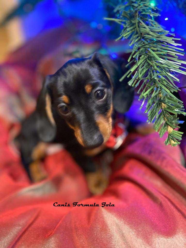 Bassotto Kaninchen per le feste di Natale