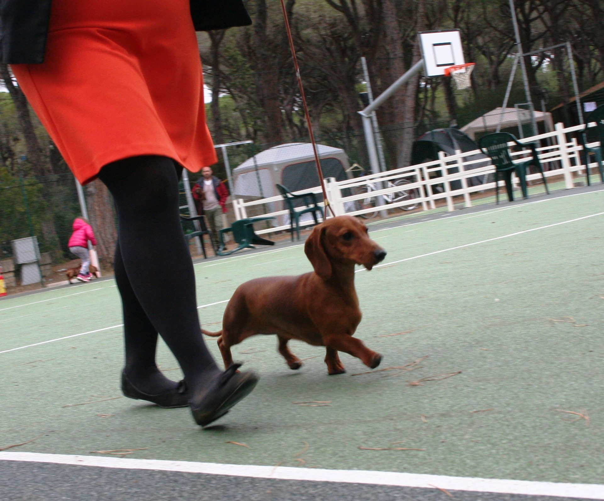 Dachshound standard in moviment