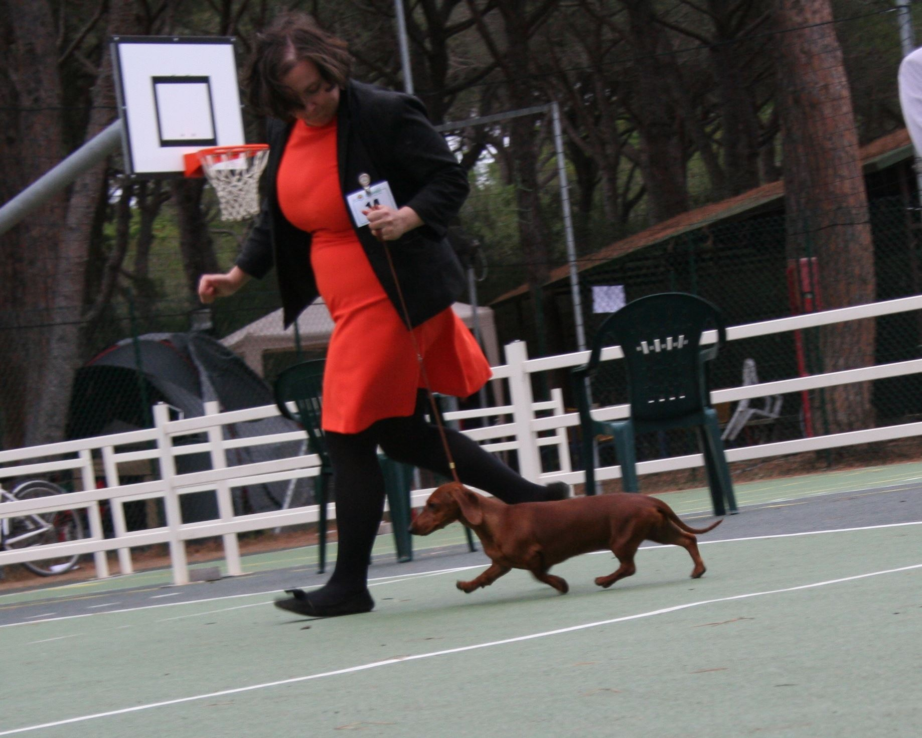 Dachshound standard in moviment in the Speciality dachshund club ABC