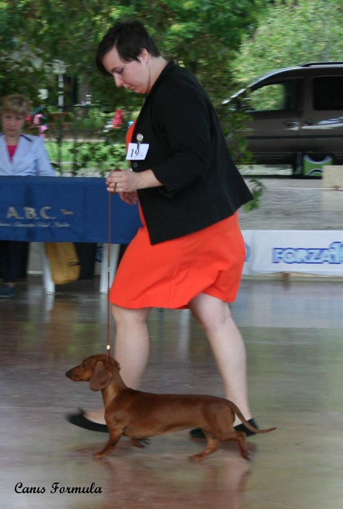 Dachshound standard Champion Italian Club