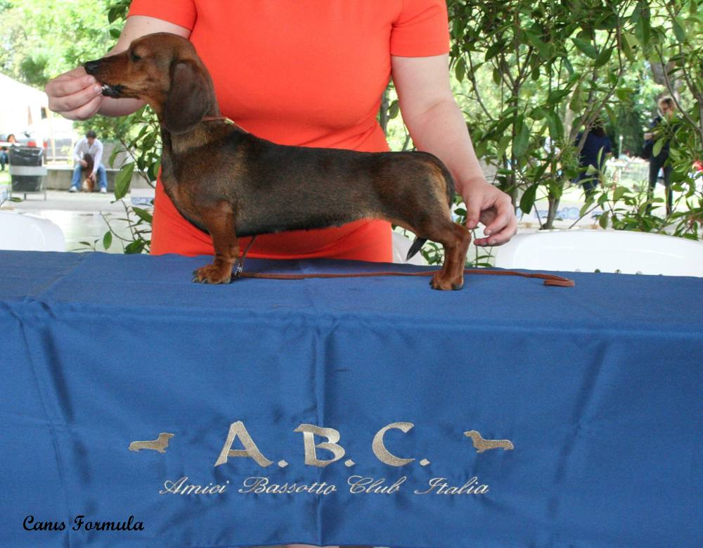 Champion Italian Club Dachshound