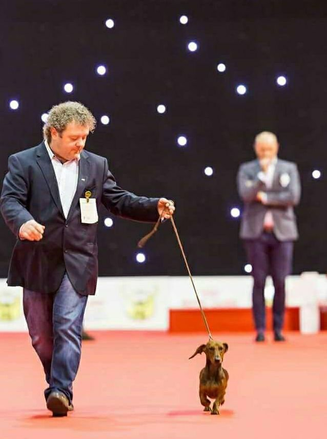 Bassotto in movimento International Dog Show DOUAI