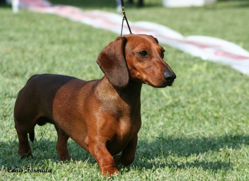 dachshound miniature smooth haired